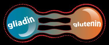 gluten-protein