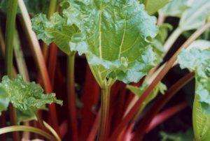rhubarb-leaf
